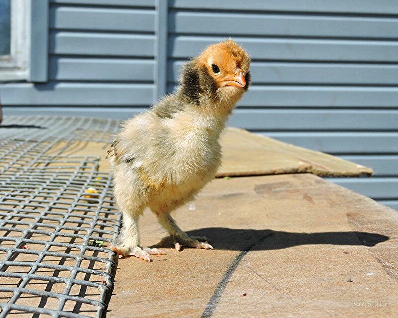 Павловский цыплёнок