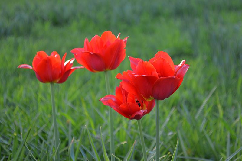 майские тюльпаны 4.jpg