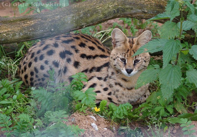 Сервал (Leptailurus serval)