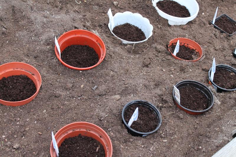 Сажать гвоздику семенами осенью 46