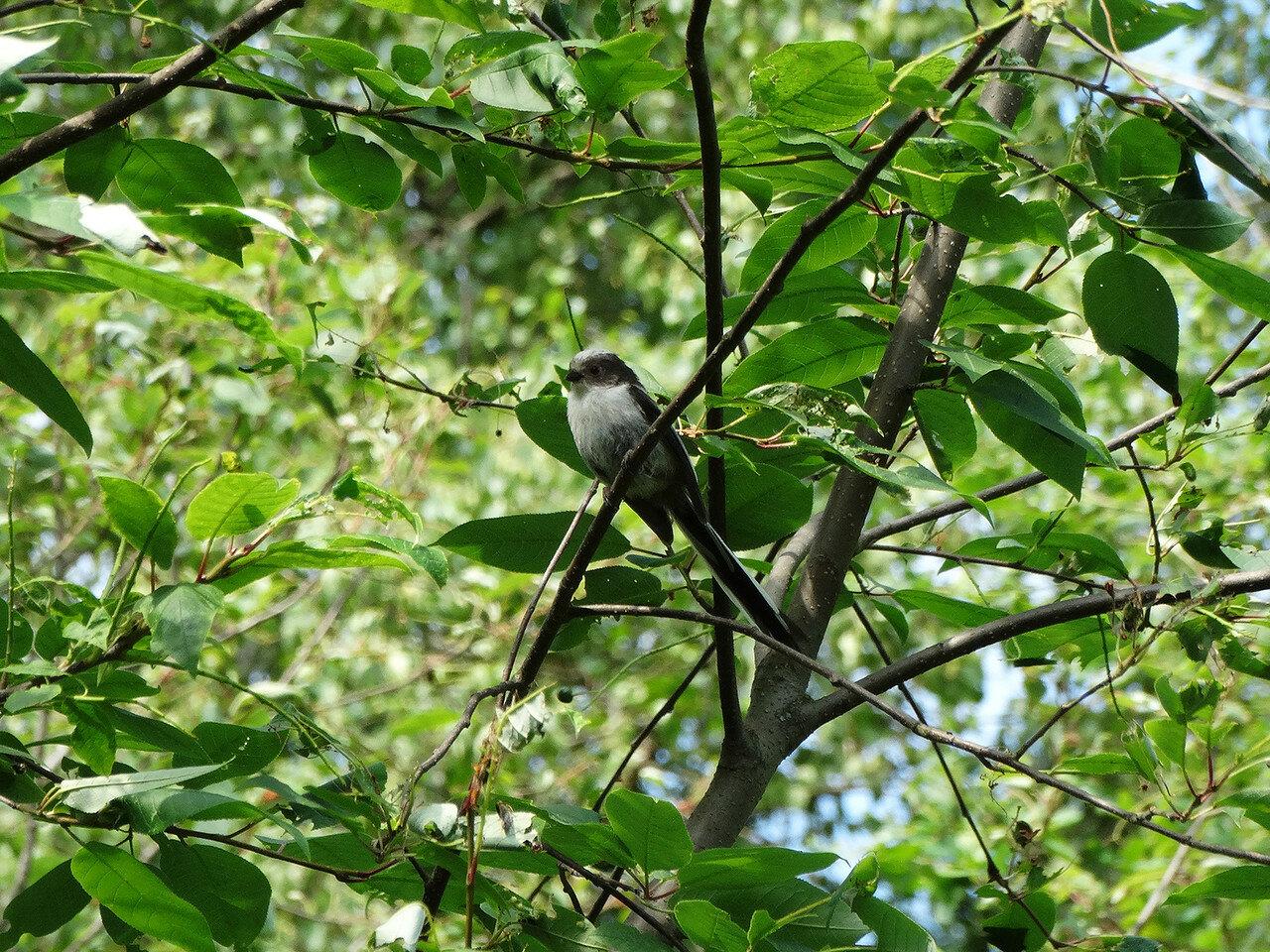 Длиннохвостая синица (Aegithalos caudatus). Автор фото:Привалова Марина