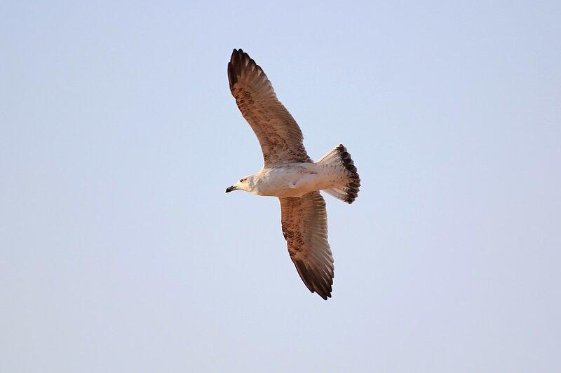 Чайка в полёте над морем
