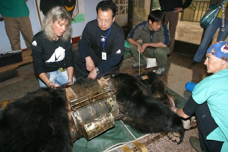 Садисты проделали дырку в животе медведя, чтобы через нее вытягивать желчь