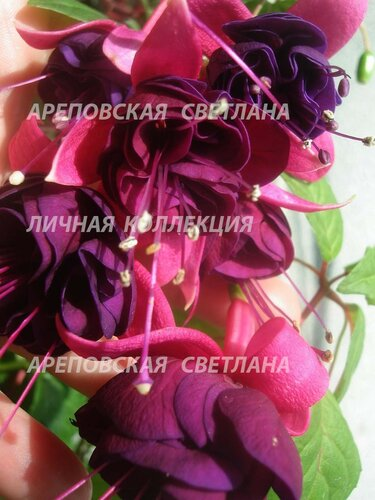 НОВИНКИ ФУКСИЙ. - Страница 5 0_15728d_65ba1e4d_L