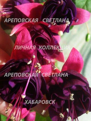 НОВИНКИ ФУКСИЙ. - Страница 5 0_15728e_356597bb_L