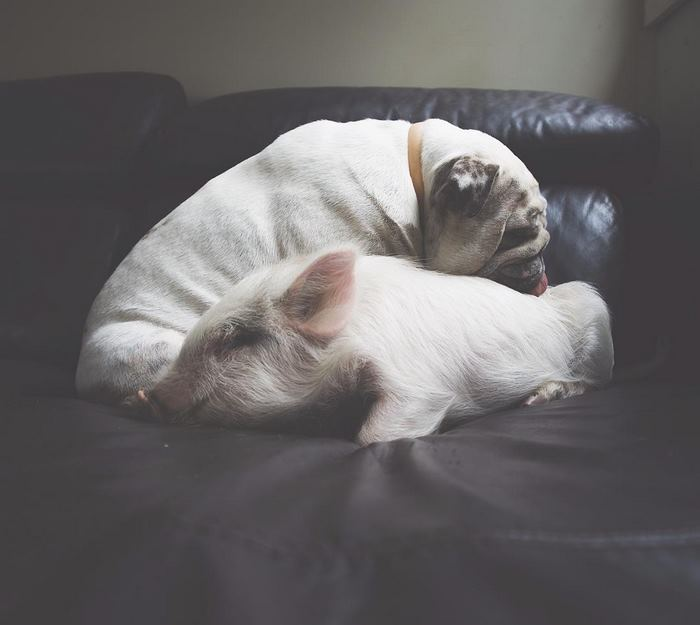 Жизнь свинки, которая уверовала, что она собака
