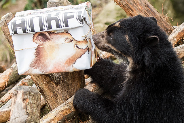 A young spectacled bear sniffs its goodbye present in the zoo in Frankfurt am Main, Germany, 03 Marc
