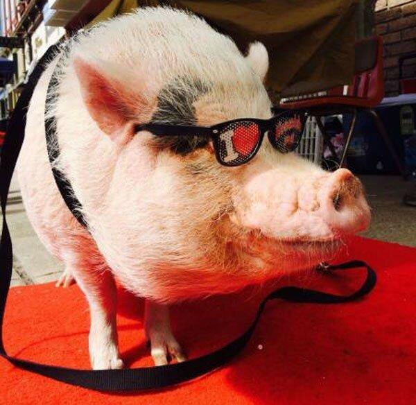 картинки свинок в очках очень древний рецепт