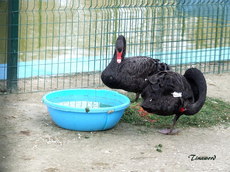 черные-лебеди-5.jpg