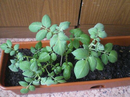 Ароза выращиваемая весной на подоконнике.