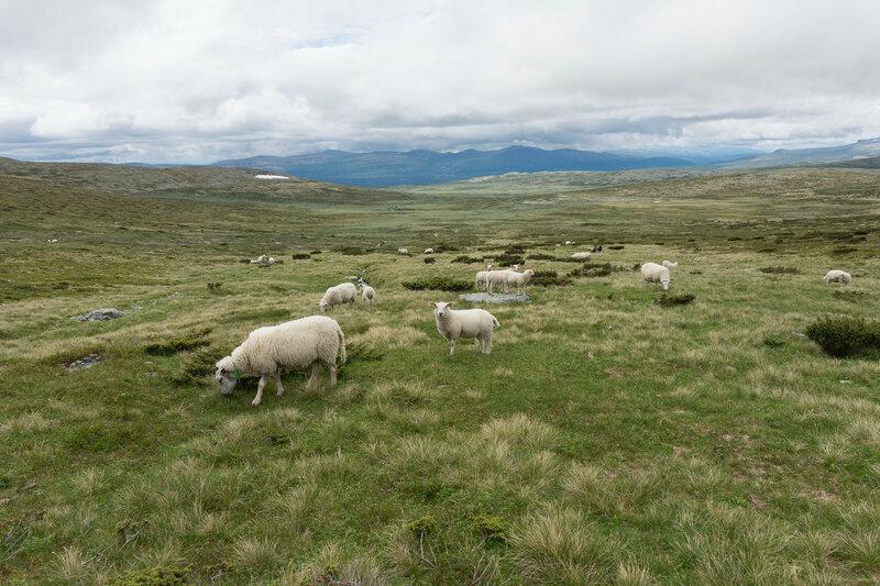 овцы пасутся в тундре в Норвегии