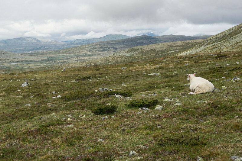 пейзаж с овцой в тундре Норвегии