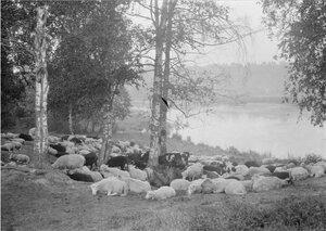 Котлы. Овцы и коровы отдыхают под деревьями на берегу реки Сумы