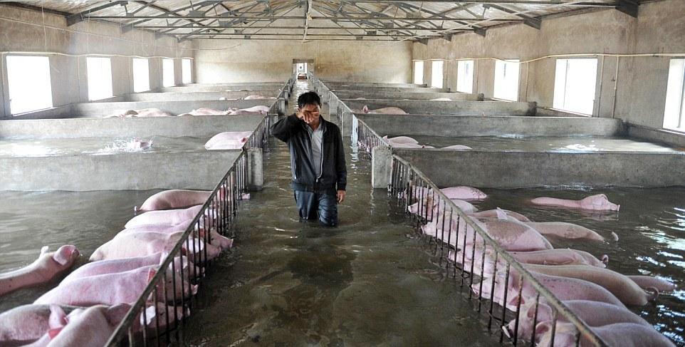 Трудное решение: фермер вынужден бросить 6000 свиней по горло в воде