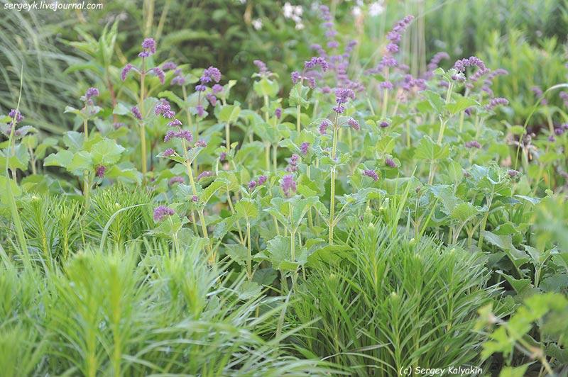 Salvia verticillata Purple Rain (2).JPG