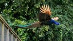 Прекрасная птица павлин