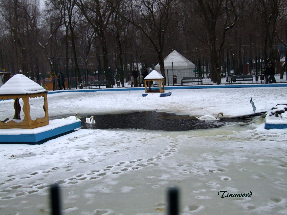 лебеди-7.jpg