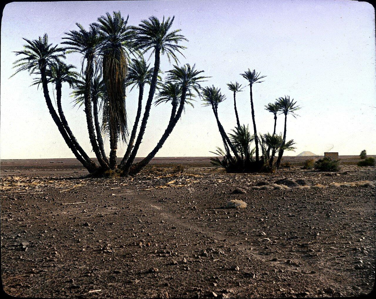 Мали. Оазис Силет. Пальмы в пустыне