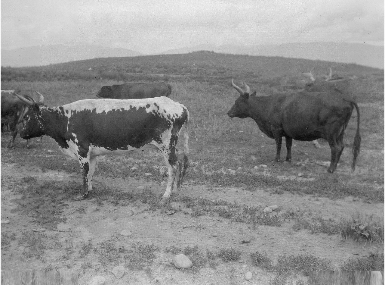 Киргизский скот в долине реки Кунгес