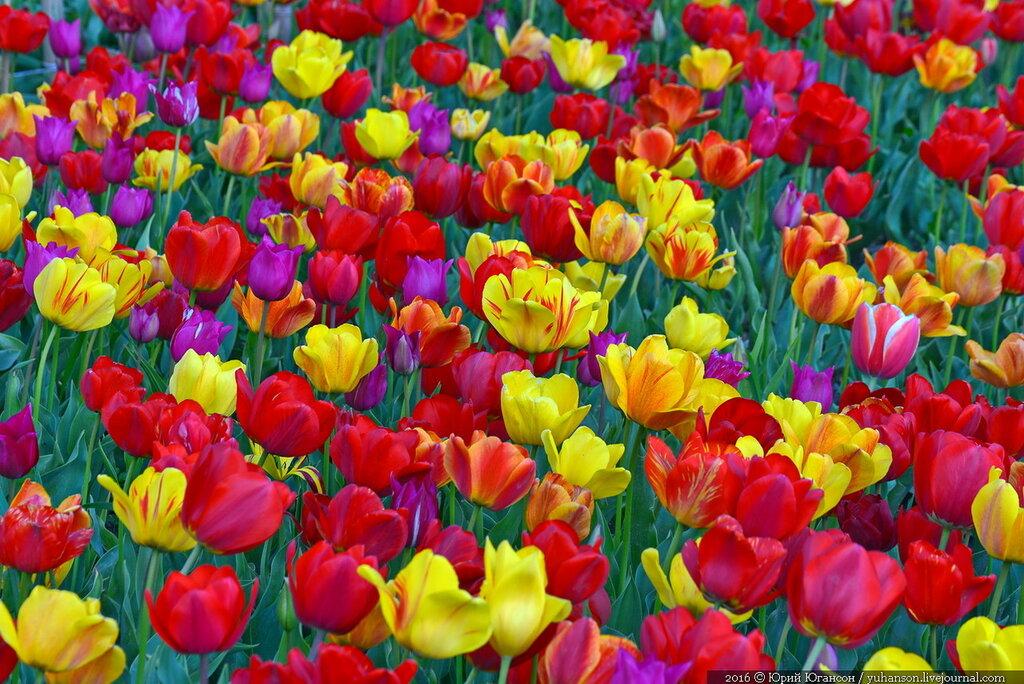 Парад тюльпанов в Никитском ботсаду. Завтра открытие!
