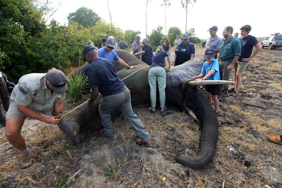 10. Единственный способ безопасно погрузить взрослого слона на грузовик — вверх ногами, прикреп
