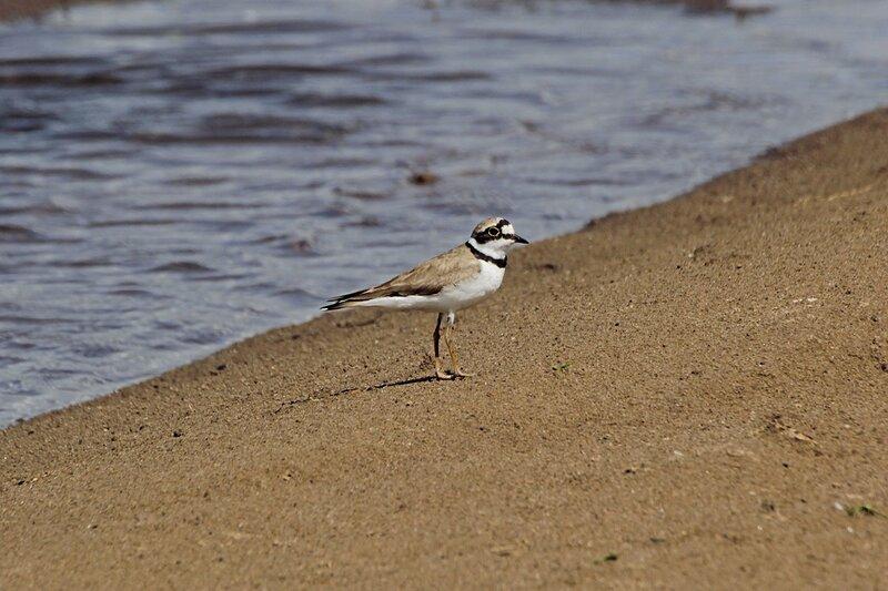 Малый зуёк (речной зуёк, малый галстучник, песочник) - куличок размером с воробья с жёлтым кольцом вокруг глаза и чёрным «галстуком», живущий на песчаных пляжах и отмелях рек