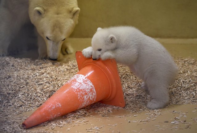 A polar bear cub plays next to her mother Valeska, in an enclosure at Bremerhaven's (Bremen&#x2