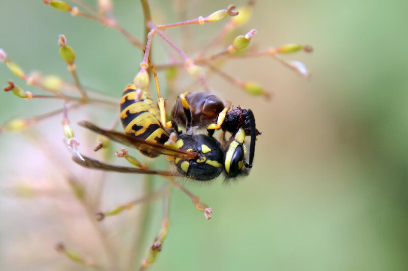 Оса обедает муравьиной маткой