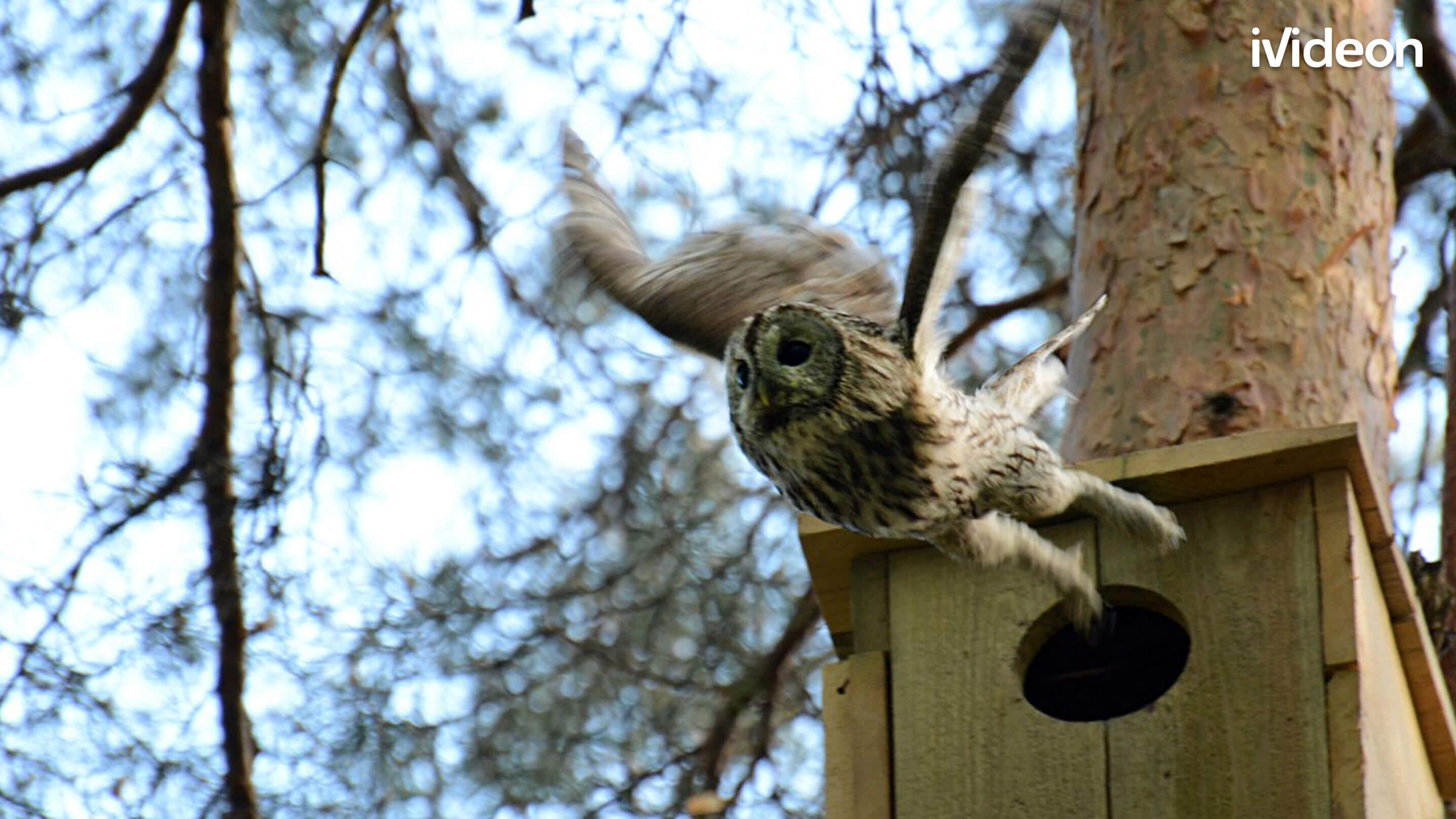 сова вылетает из гнезда