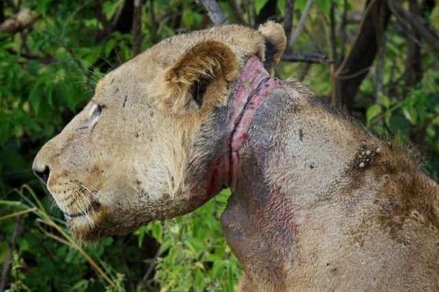 Спасение ужасно пораненного льва из ловушки браконьеров в Танзании