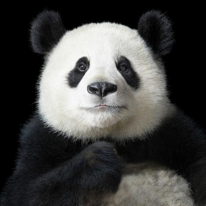 Большая панда по имени Я Юн, что в переводе на русский означает «элегантная», в центре исследования