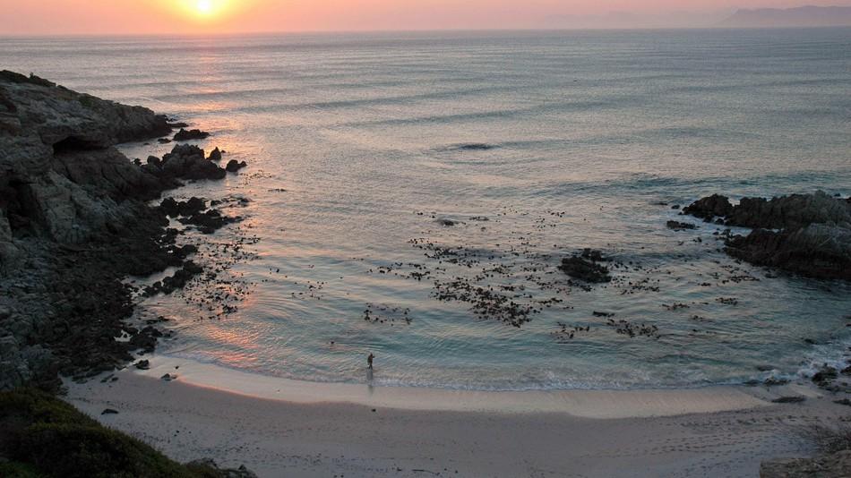 Южноафриканский Гансабай знаменит одной из самых больших популяций больших белых акул. Хотя уже лет