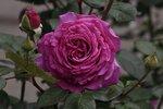 Роза чайно-гибридная Шартрез де Парм (Chartreuse de Parme® delviola) Delbard 1996 Посадка 2010 года