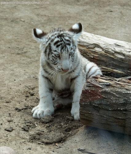 Тигренок / Бенгальский тигр (белая вариация) – Panthera tigris tigris (var. alba)