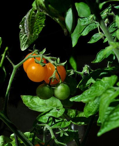 Готовим питательный раствор из пасынков помидор