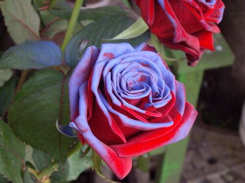 Фото самые редкие сорта роз