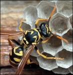 Wasp-9650