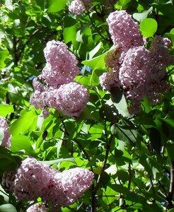 Пенные гроздья сирени в сибирском саду