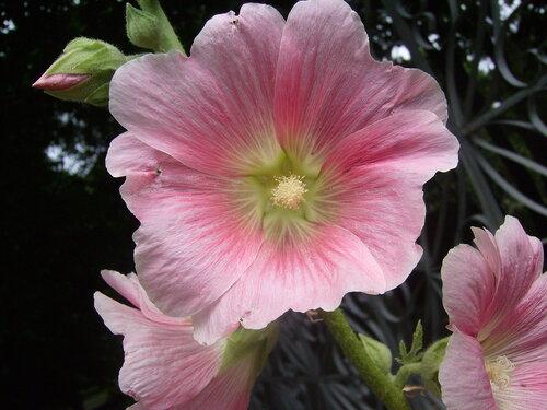 Квіти мальва квіти україни мальва