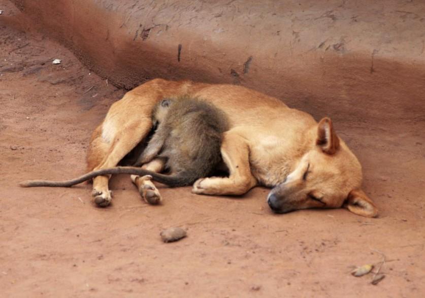 8. Собака кормит поросенка.