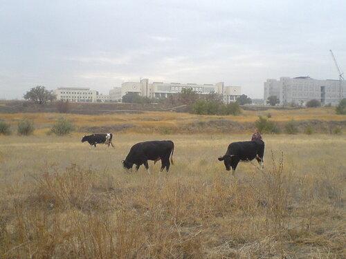Коровы возле ВолГУ
