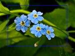 4 августа 2010 года,16:41. walentinke. цветы. вывесила фотку.  Голубые глаза незабудок. фотошоп. лето.