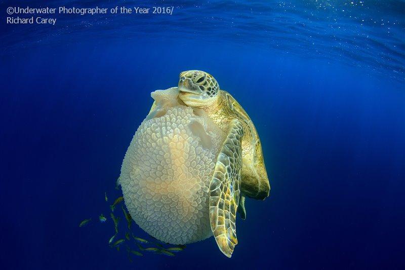 7. Ричард Кэри на Симиланских островах сфотографировал поедающую медуз морскую черепаху. Снимок заня
