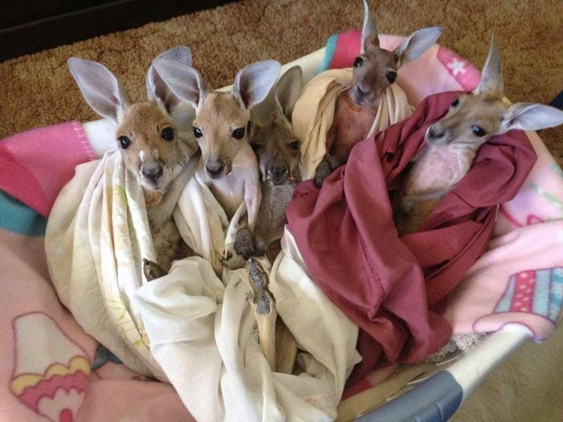 15. Крис сделал сумки для кенгурят из одеял и наволочек, чтобы они никогда не мерзли, чувствовали се