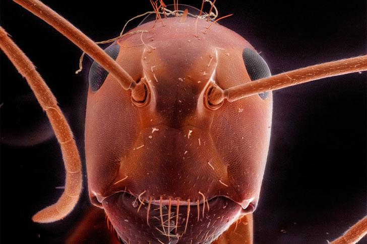 Красный муравей-древоточец.