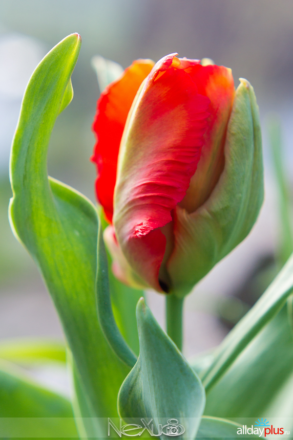 Я люблю все цветы, выпуск 156 | Нарцисс «Riot» и тюльпан «Red Parrot».