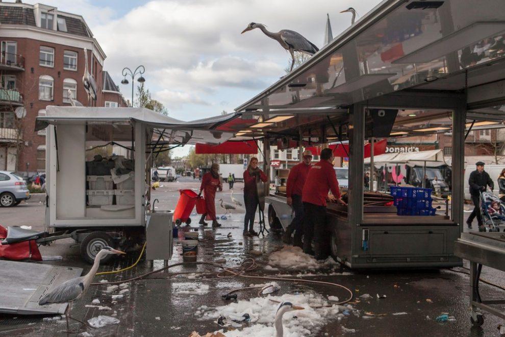 Городские цапли Амстердама (13 фото)