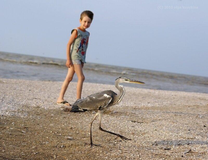 Цапля серая (Ardea cinerea) на косе/ Азовское море