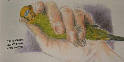 Возьмите попугая в левую руку и зафиксируйте, если попугайчик пытается вырваться, подождите пока он успокоится.