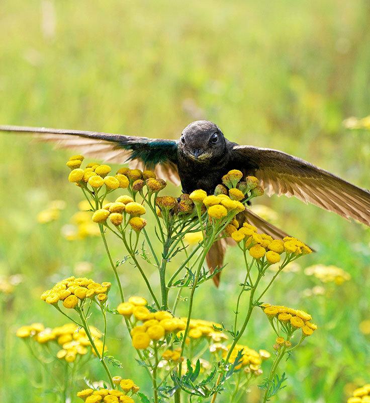 фото птиц стрижи